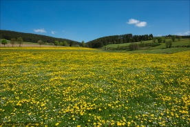 Löwenzahnwiese bei Birkelbach - ohne Rennrad