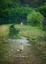 Der Pfad der Nilgänse: Auf dieser interessanten Landzunge an Anfang des Edersees begenete ich dieser Nilgans mit ihrem Nachwuchs.