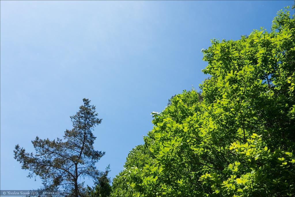Leuchtendes, frisches Juni-Laub. Die Krone eine Eiche - von unten vom Radweg aus fotografiert.